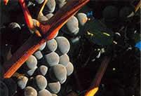 Bordeaux wijnen | Cabernet Sauvignon druif