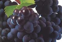Bordeaux wijnen | Merlot