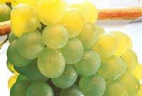 Bordeaux wijnen | Muscadelle Blanc