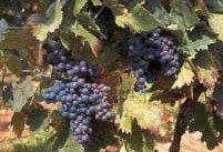 Bordeaux wijnen   Petit Verdot Rood
